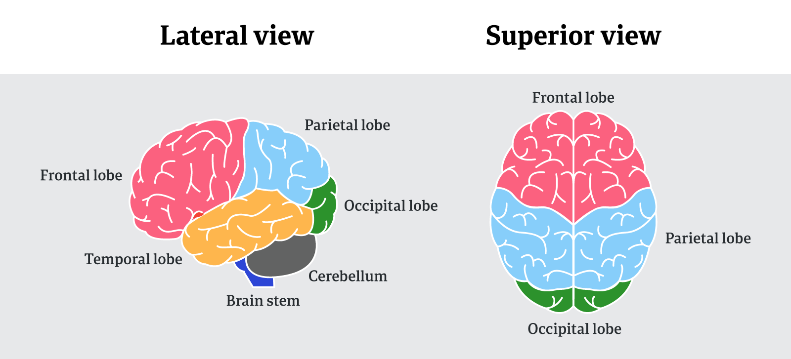 Lateral and superior views of the brain