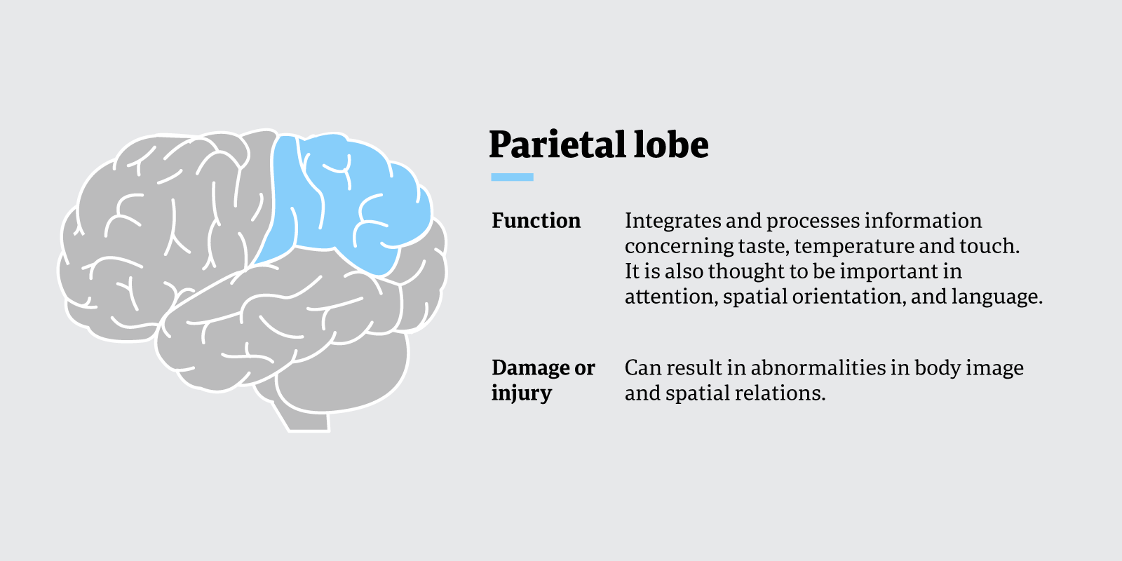Function of the parietal lobe